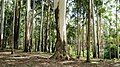 Plantation @ Kundale, Munnar - panoramio (3).jpg