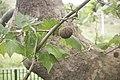 Platanus occidentalis-Platane 3462.jpg