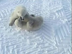 Fil:Play fight of polar bears edit 1.ogv
