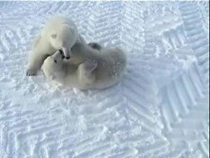 Dosya:Play fight of polar bears edit 1.ogv