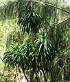 Pleomele halapepe (4766404331).jpg