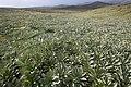 Pleurophyllum hookeri Macquarie Island.jpg