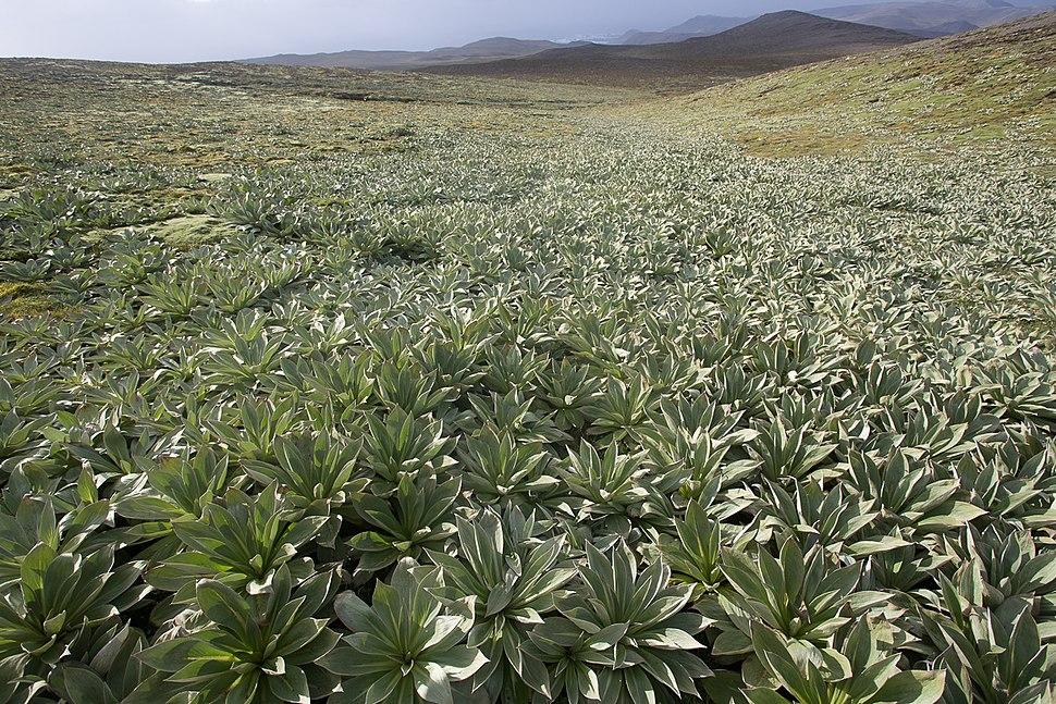 Pleurophyllum hookeri Macquarie Island