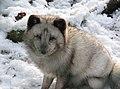 Polarfuchs im TierarkHellabrunn (12434177184).jpg