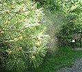 Pollen from pine tree 2.jpg