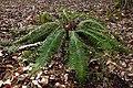 Polystichum aculeatum in Estonia.jpg