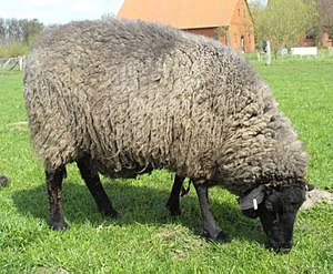 Early history of Pomerania - Pomeranian Coarsewool Sheep, traced back some 3,000 years.