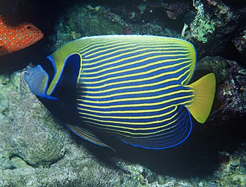 A emperor angelfish