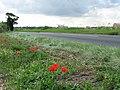 Poppies alongside Holt Road - geograph.org.uk - 518060.jpg