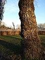 Populus nigra sl5.jpg