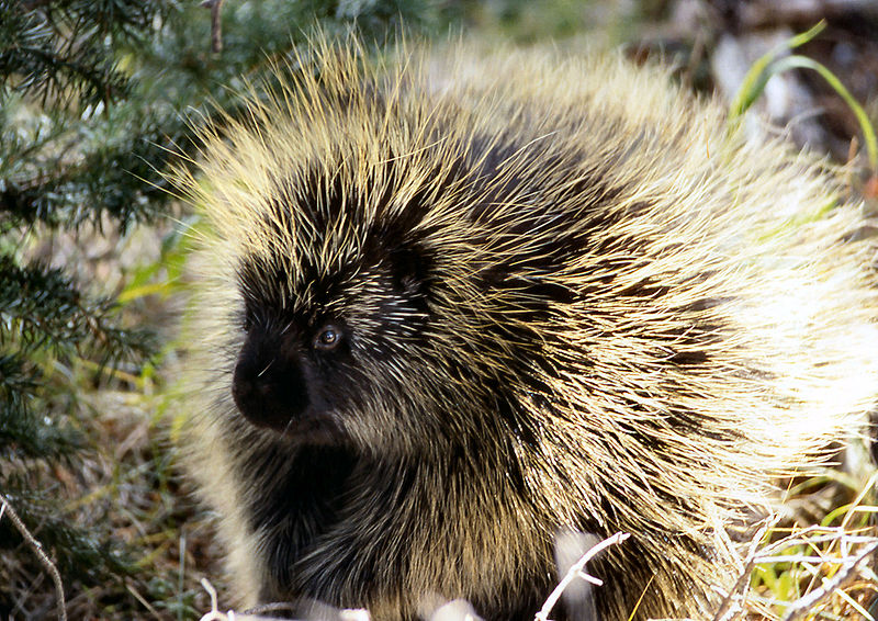 http://upload.wikimedia.org/wikipedia/commons/thumb/0/04/Porcupine_NPS11952.jpg/800px-Porcupine_NPS11952.jpg