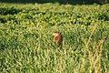 Prairie Dog (231104505).jpeg