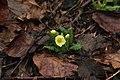 Primrose - Primula vulgaris - panoramio (6).jpg
