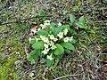 Primroses in Marridge Wood.jpg