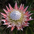 Protea cynaroides - King Protea - SA national flower (36204827370).jpg