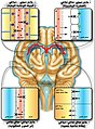 Protective barriers of the brain-ar.jpg