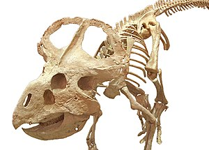 Cultural depictions of dinosaurs - Protoceratops skeleton at the Wyoming Dinosaur Center