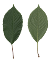Prunus avium scanned leaves (front, rear side).png