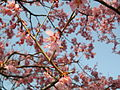 Prunus incamp cv Okame.jpg