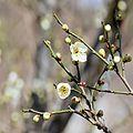 Prunus mume 4.jpg