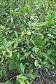Prunus spinosa, Rosaceae 07.jpg