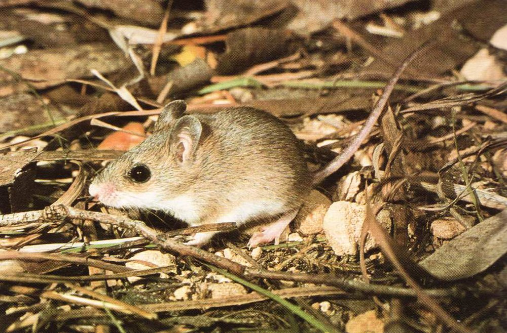 The average litter size of a Little native mouse is 3