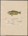 Pseudoscarus viridis - 1700-1880 - Print - Iconographia Zoologica - Special Collections University of Amsterdam - UBA01 IZ14000033.tif