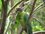 Psittacula cyanocephala -Flying High Bird Habitat -Australia -female-8a.jpg