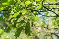 Ptelea trifoliata subsp polyadenia in La Jaysinia (1).jpg