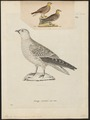 Pterocles coronatus - - Print - Iconographia Zoologica - Special Collections University of Amsterdam - UBA01 IZ16900019.tif