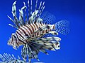 Pterois volitans.001 - Aquarium Finisterrae.JPG