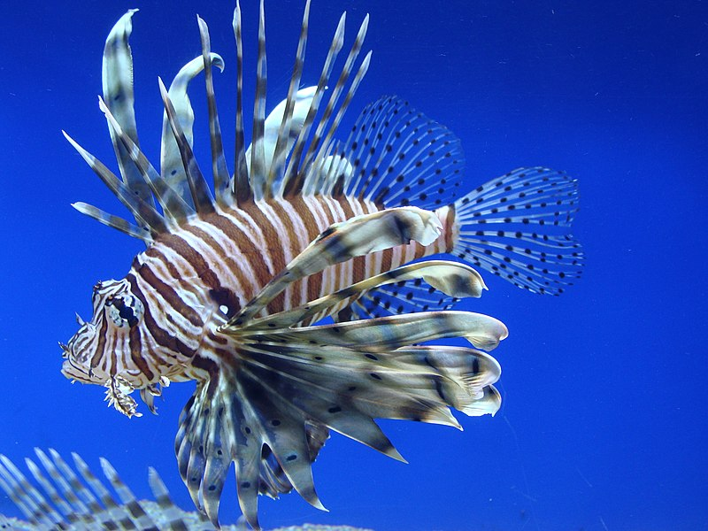https://upload.wikimedia.org/wikipedia/commons/thumb/0/04/Pterois_volitans.001_-_Aquarium_Finisterrae.JPG/800px-Pterois_volitans.001_-_Aquarium_Finisterrae.JPG