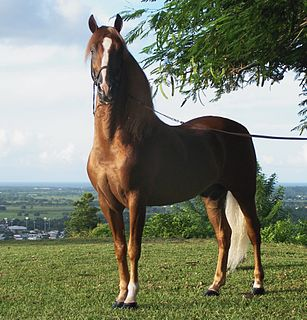 Stallion male horse that has not been castrated