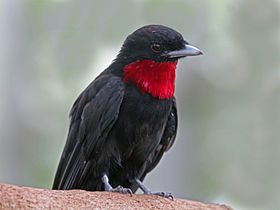 Purple-throated Fruitcrow RWD.jpg