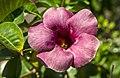Purple Alamanda-1 (24431356794).jpg