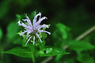 <i>Monarda fistulosa</i> species of plant