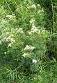 Pycnanthemum tenuifolium kz3.jpg