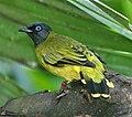 Pycnonotus atriceps-20031005.jpg