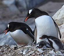 Pair of Gentoo Penguins with two chicks
