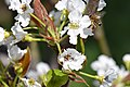 Pyrus pyrifolia (Shinko) pollinated by Apis mellifera 12.jpg