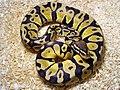 Python Regius Pastel.jpg