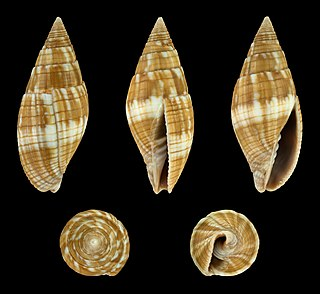 <i>Quasimitra variabilis</i> species of mollusc