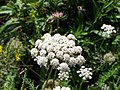 Queen Anne's Lace at Marshall Point.jpg
