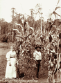 Queensland State Archives 2383 Couple and 13 feet high corn at Manitzkys Farm Teutoberg Blackall Range c 1899.png