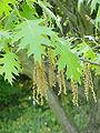 Quercus coccinea1.jpg