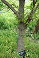 Quercus mongolica - Morris Arboretum - DSC00197.JPG