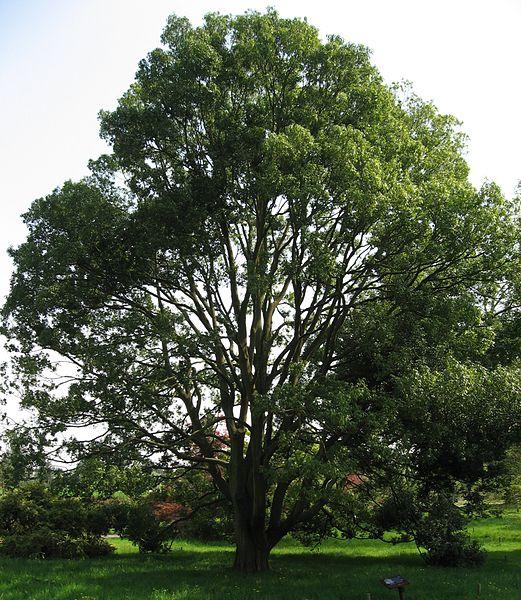 le magnifique houppier du chêne bambou