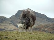 Quite Nice Sheep Photo