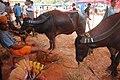 Race Buffalo, Puttur ಕೋಟಿ ಚೆನ್ನಯ ಕಂಬುಲ.jpg