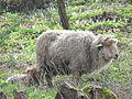 Racka Ewe Lamb.JPG